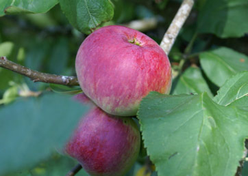 ApplesWeb.jpg
