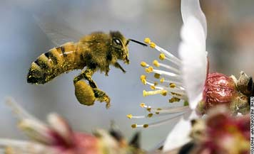 Honeybee_Pollen.jpg