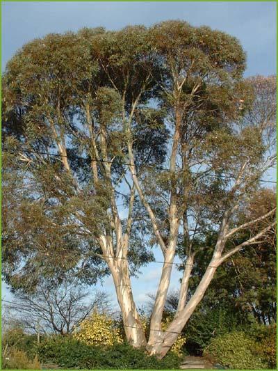 eucalyptus_niphopphylla__017593800_1700_05022008.jpg